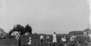 1906 Morton's strawberry farm, looking west from what later became pasture