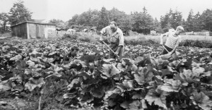 1945-07 Rollin and Norman Hansen hoeing zucchini, with chicken coop in background