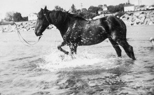 1947-08 Merna's horse, Firefly, enjoys the salt water at Richmond Beach