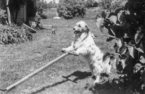 1948-06 Meatball mowing the lawn on south side big house